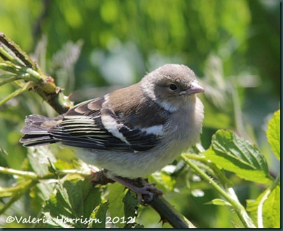 baby-chaffinch