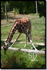ZooGiraffee1