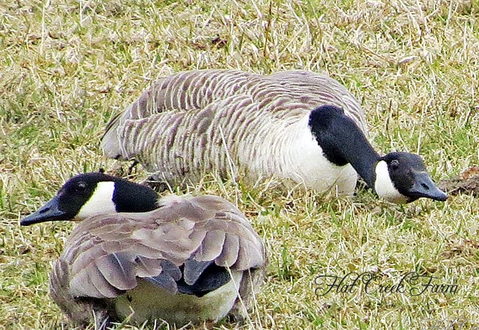 geese3-15-13