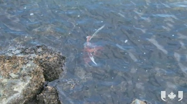 The octopus pulls his prey under the water after winning its unlikely struggle against the seagull