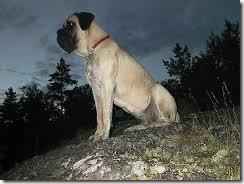 razas de perros grandes_2