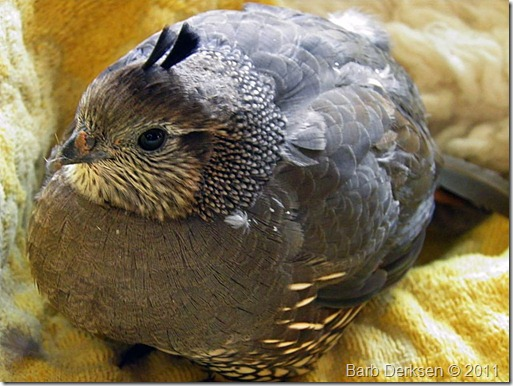 injured-quail-2