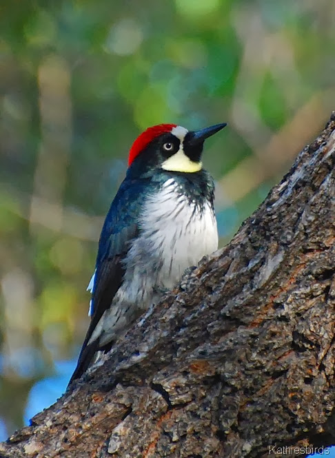 6. acorn woodpecker-kab