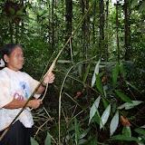 写真1 : 東プナンの女性によるラタン(Ceratolobus discolorBecc.) の採集風景。同定に役立つ葉や葉鞘はその場で捨てられ、茎だけが持ち帰られる。(撮影: 小泉 都)