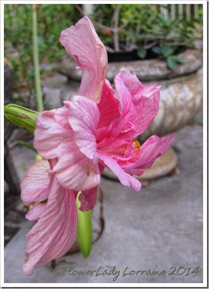05-14-pink-hib4