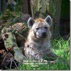 Hyena Dierenpark Amersfoort
