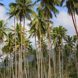 Coconut Palm Trees Everywhere - Savusavu, Fiji