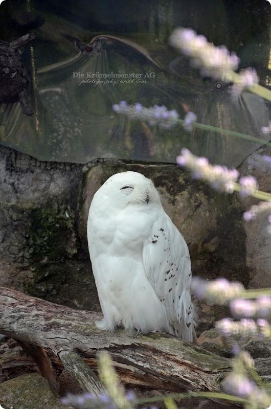 Wremen 29.07.14 Zoo am Meer Bremerhaven 37 Schneeeule