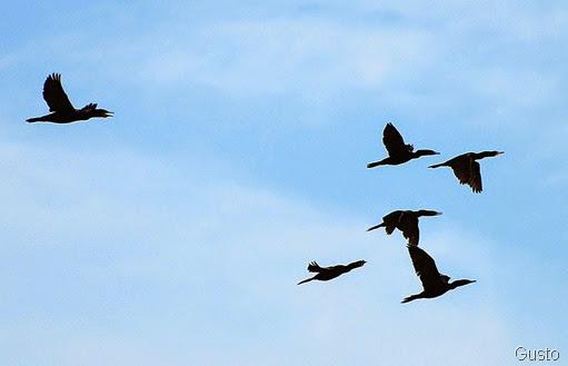 6e. cormorants-gusto