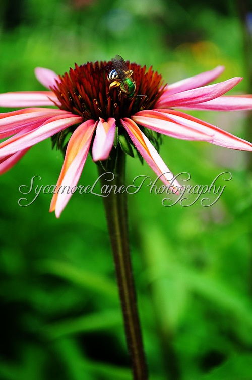 Coneflower and bee-w