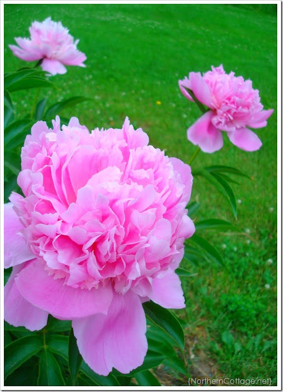 {Northern Cottage} Gorgeous Pink Peony