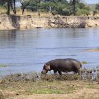 Ruaha River Lodge, Flusspferd nahe der Lodge © Foto: Ulrike Pârvu | Outback Africa Erlebnisreisen
