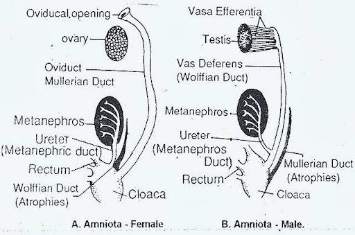 EXCRETORY SYSTEM -GARDEN Reptile Excretory System