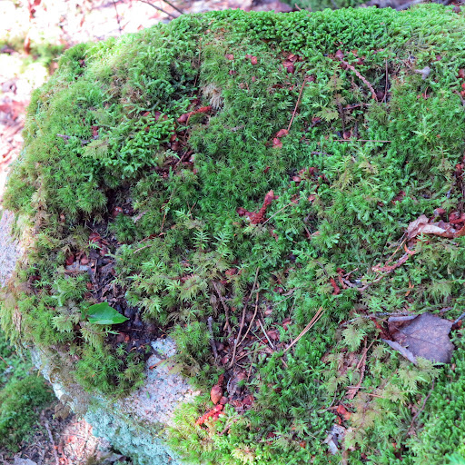Sharkey, look at this fascinating patch of moss!  Moss grows in shady, damp areas on rocks and trees.  Did you know that moss has no flowers or seeds and reproduces by spores, like ferns and mushrooms?