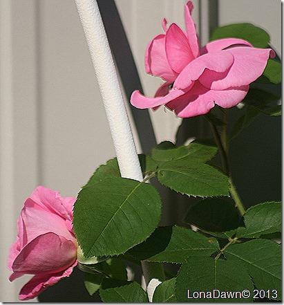Rose_Gertrude_Jekyll
