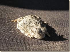 Hotned-Toad-OgilbyRd (2)