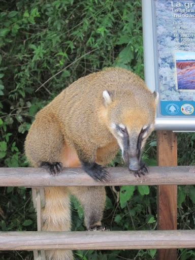 A coati scaling one of the walkway's railings.