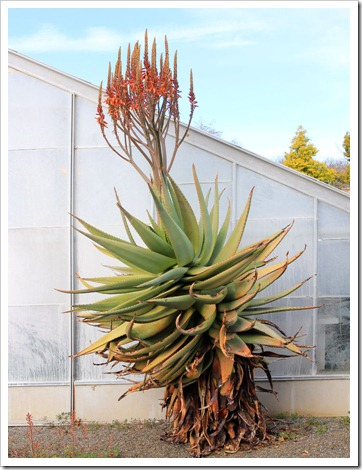 130202_UCDavis_Aloe-ferox_02