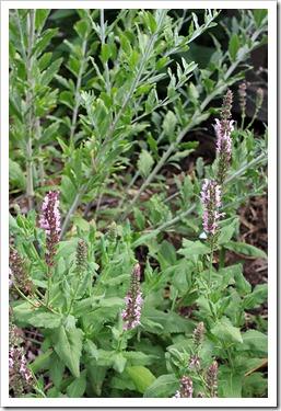 130601_Perovskia-atriplicifolia-Little-Spire- -Salvia-x-sylvestris
