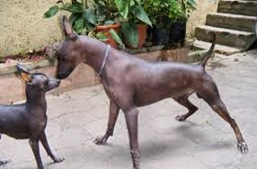 Amazing Pictures of Animals, Photo, Nature, Incredibel, Funny, Zoo, Dog, Mexican Hairless Dog, Xoloitzcuintle, Mammals, Alex (6)