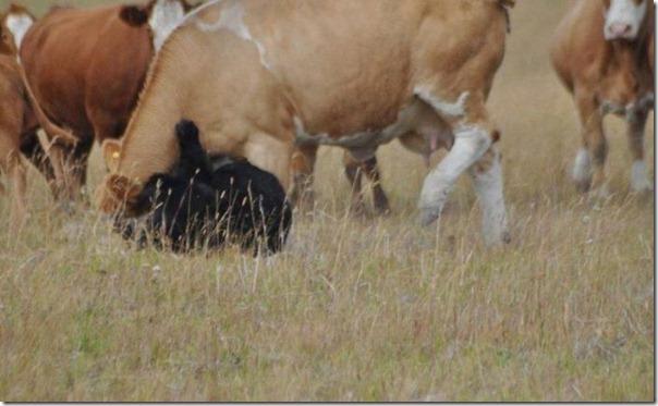 Vacas vs Urso (3)