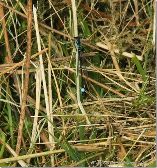 13-blue-tailed-damselfly