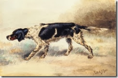 an english setter at point