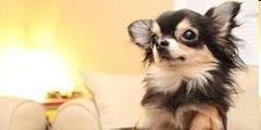anjing bebe