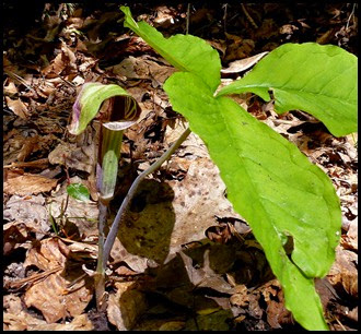 04 - Spring Wildflowers - Jack-In-The-Pulpit
