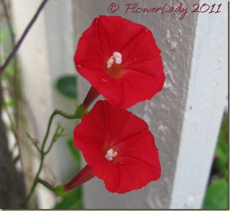 07-10-cardinal-vine