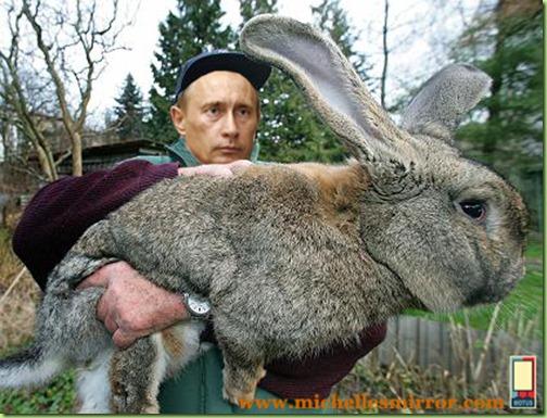 Der Kaninchenzüchter Karl Szmolinsky aus dem brandenburgischen Eberswalde (Barnim) zeigt am Mittwoch (03.01.2007) eines seiner fast zehn Kilogramm schweren Kaninchen der Rasse Deutsche Riesen grau. Mit Riesen-Kaninchen aus Brandenburg soll in Nordkorea eine Zucht aufgebaut werden. Die ersten zwölf Tiere von Szmolinsky sind bereits seit einigen Wochen dort. Im April werde er selbst nach Asien fliegen, um die neue Zuchtanlage für die «Deutschen Riesen grau» zu begutachten und Tipps zu geben. Die Tiere, die laut Szmolinsky zur größten Kaninchenrasse weltweit gehören, werden bis zu zehn Kilo schwer. Die Koreaner wollen mit den Tieren ihre Fleischversorgung verbessern. Foto: Patrick Pleul dpa/lbn (zu lbn-Korr.-Bericht vom 03.01.2007) +++(c) dpa - Bildfunk+++