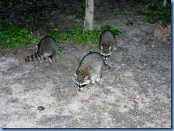 7453 Restoule Provincial Park - evening fire four raccoons come to visit