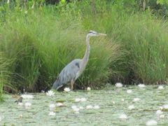 great blue heron 7.25.2013 in the pond lilies2