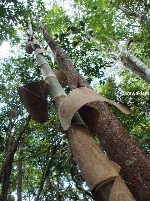 gunung_jagoi_sarawaklens_bamboo