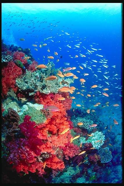 Great Barrier Reef fairy basslets.jpg