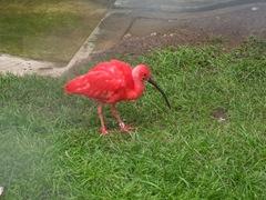 2011.09.23-024 ibis rouge
