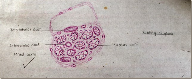 sublingual gland high resolution histology diagram