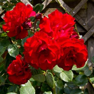 villandry-roses3