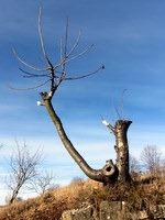 Obrezano drevo ob poti