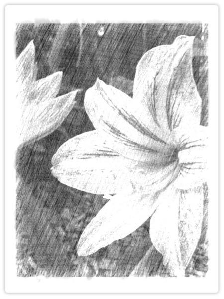 Amaryllis sketch