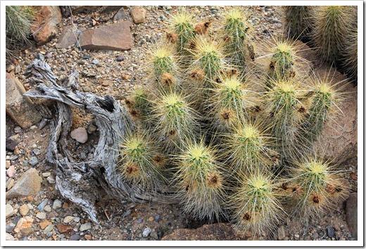 120728_ArizonaSonoraDesertMuseum_Echinocereus-nicholii_01
