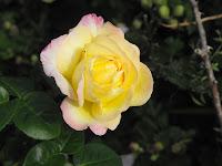 Rosepeace091711