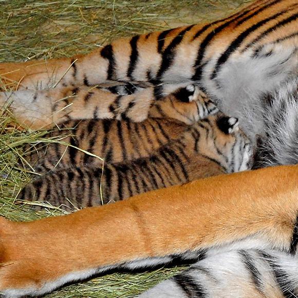 Sumatran Tiger Cubs 03