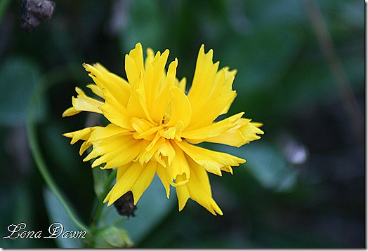 FPC_Coreopsis