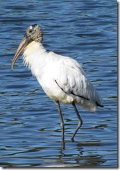 Woodstork at Huntington Beach