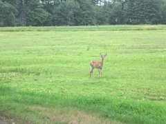 7.26.2012 deer on morse bros bog facing woods listening and watching5