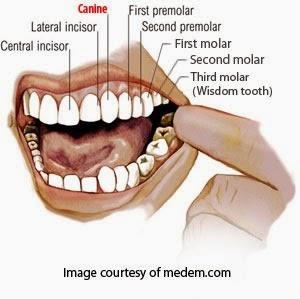 [Canine-teeth-non-veg%255B5%255D.jpg]