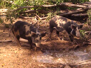 Heritage Breed Hogs, Barrington Living History Farm