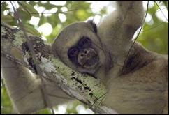 mono carvoeiro