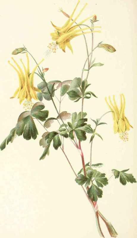 Aquilegia-Chrysantha[1]